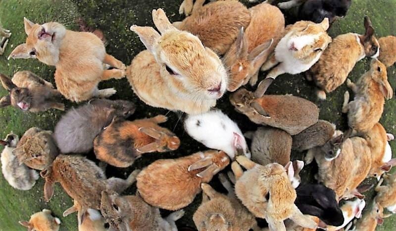 All You Need to Know About The Rabbit Island in Japan And The mysterious history behind it