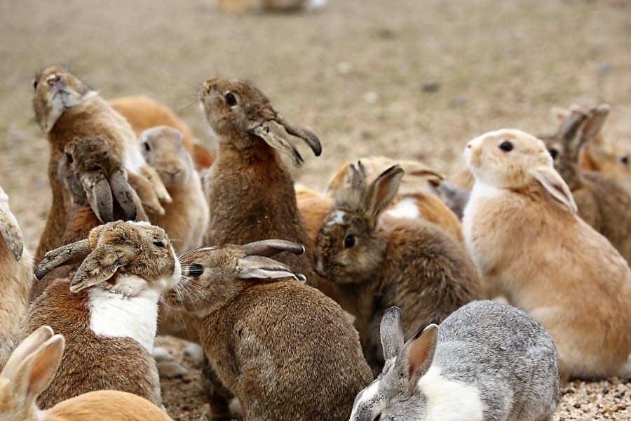 Okunoshima, A.K.A Rabbit Island, May Actually Be In Peril