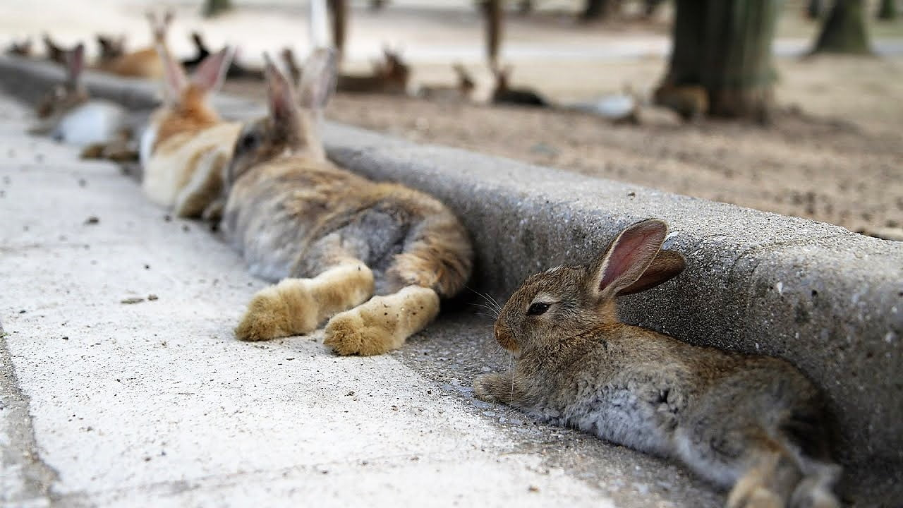 The Dark History of Japan's Rabbit Island